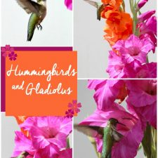 Hummingbirds and Gladiolus