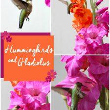 Hummingbirds and Gladiolus