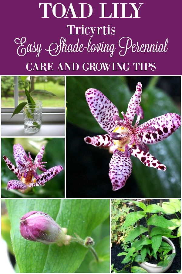 Beautiful purple tricyrtis toad lily is a shade-loving herbaceous perennial with creeping rhizomes and a lovely garden plant. Care and Growing Tips.