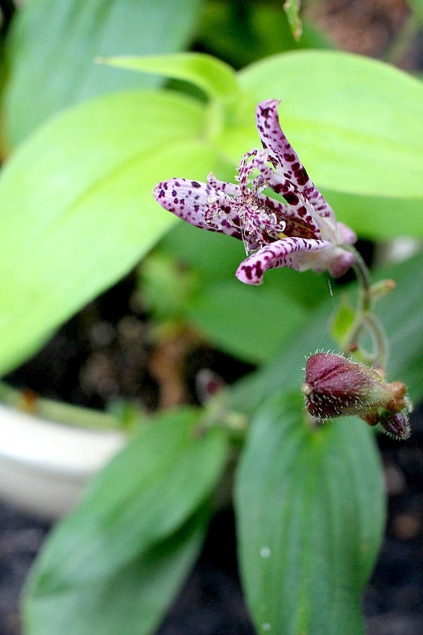 Beautiful purple tricyrtis Hirta toad lily is a  shade-loving  herbaceous perennial with creeping rhizomes and a lovely garden plant.