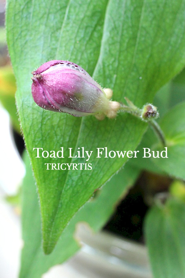 Beautiful purple tricyrtis toad lily is a  shade-loving  herbaceous perennial with creeping rhizomes and a lovely garden plant.