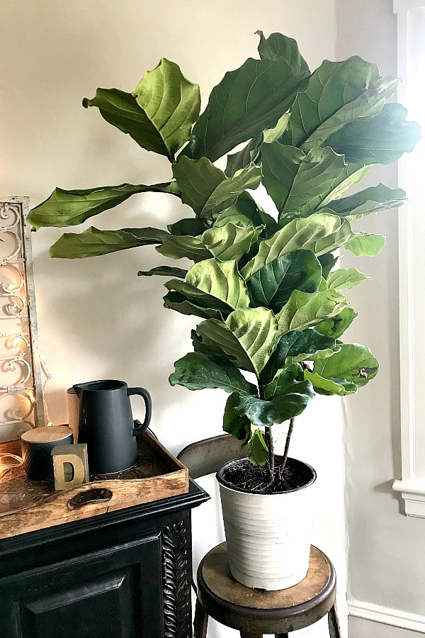 Growing houseplants is more than a hobby. It provides relaxation, a sense of accomplishment and a lovely way to decorate your work or living space. Keep plants healthy and thriving, like this fiddle leaf fig by keeping notes about light, water fertilizing and other requirements for each plant in this free printable download houseplant journal.