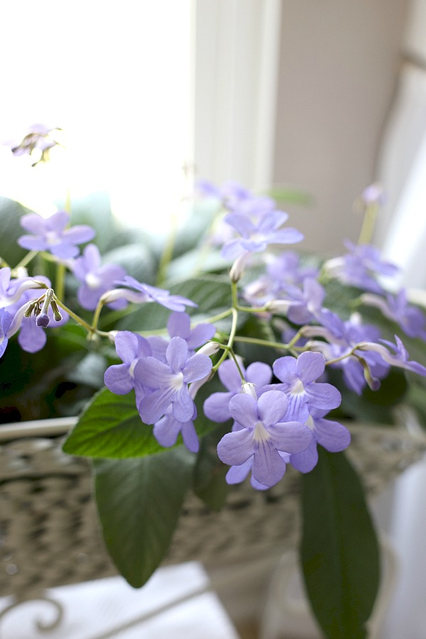 Super useful plant journal for keeping track of indoor houseplants like this streptocarpus, and the care each of your plants requires for healthy and beautiful growth. Perfect for beginners wanting to learn and enjoy each new plant acquired. Free printable download.