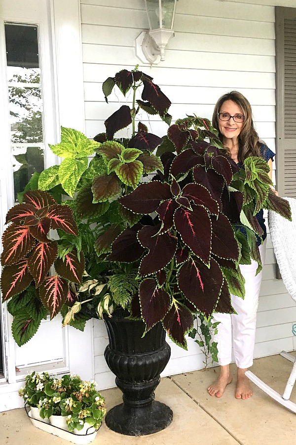 The coleus in this planter grew from tiny plants started from seeds in a bright window. Growing and caring for indoor houseplants is not just a rewarding hobby but adds much appeal in decor when displayed in the home and outside, creating a welcoming environment.