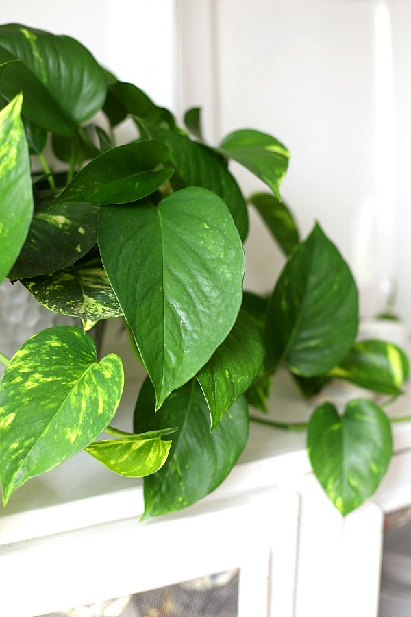 Caring for houseplants brings pleasure as well as providing great decor options for our home or work space. Keep those plants healthy and thriving by keeping notes about light, water fertilizing and other requirements for each plant. Keep track with notes in a free printable download houseplant journal.