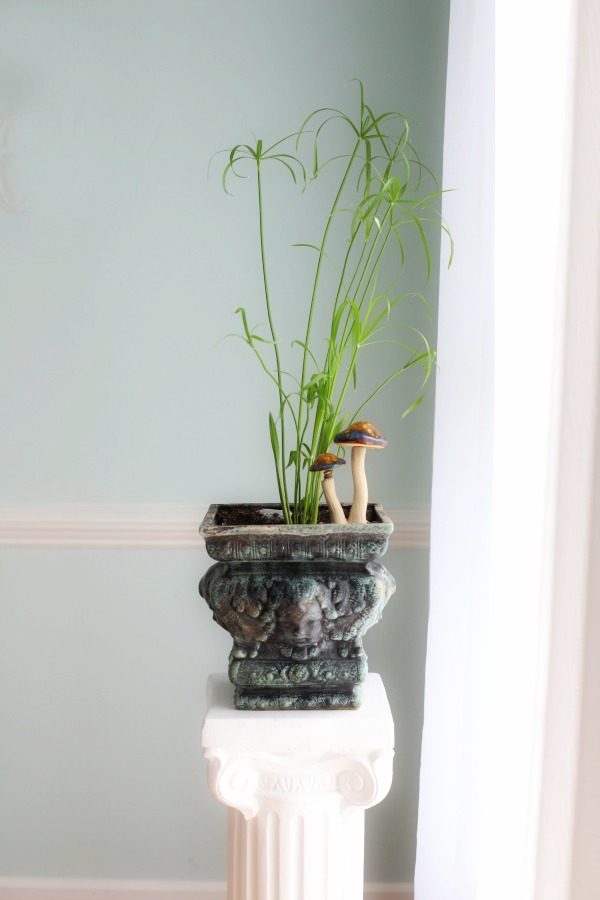 This young papyrus was started from a cutting placed in water. Growing and caring for indoor houseplants is not just a rewarding hobby but adds much appeal in decor when displayed in the home, creating a welcoming environment.