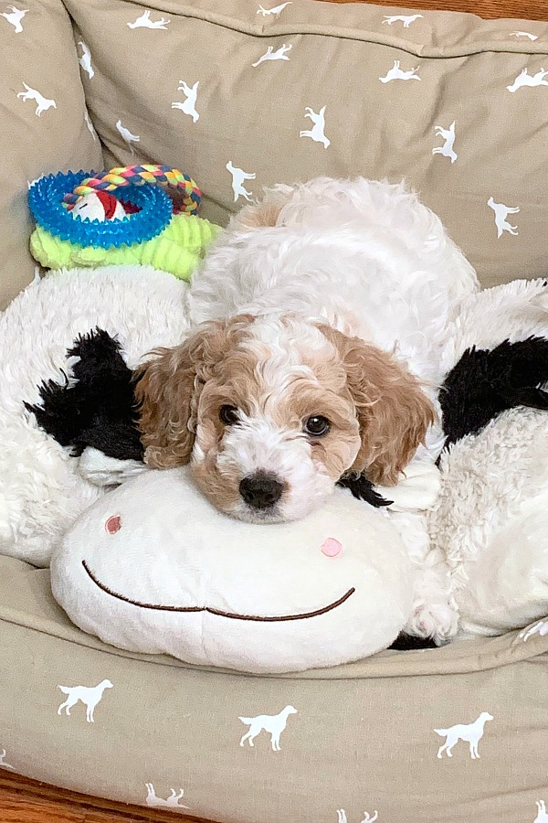 What to do when you bring a puppy home? Training our cockapoo about housebreaking, leash and crate training, play biting and sleeping through the night.