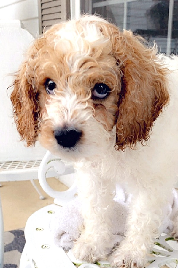 Loving those sad puppy eyes of this sweet cockapoo dog. First days home and beginning housebreaking, leash and crate training, play biting and sleeping through the night.