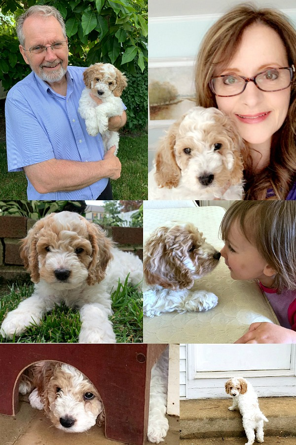 Bringing our cockapoo puppy home and beginning crate and leash training, housebreaking, play biting and sleeping through the night skills. Our hearts are full!