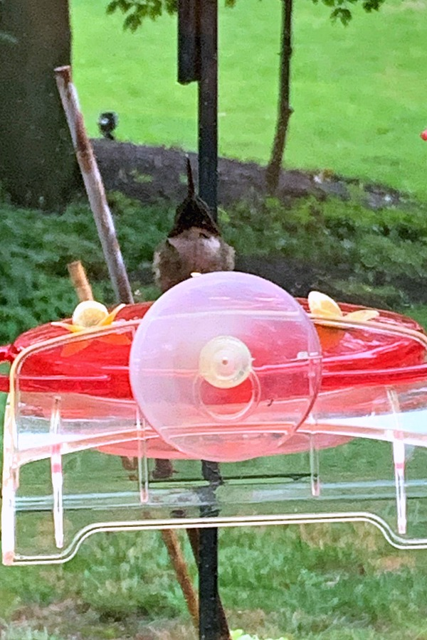 Fascinating video of a tiny Ruby-throated hummingbird at a window feeder with its tongue out and looking as if panting or defending its territory.