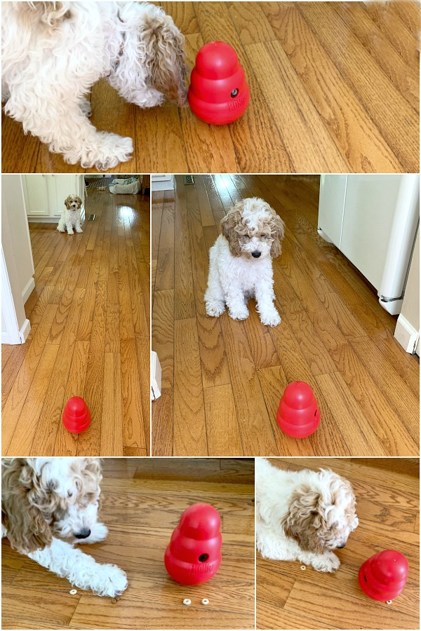 Cockapoo puppy dog with Kong wobbler treat toy