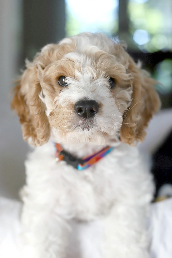 Lots of care and training is involved to keep your new puppy safe and encourage him to learn acceptable behavior. This new puppy shopping guide of essential and useful products will help your pet adjust to his new family.