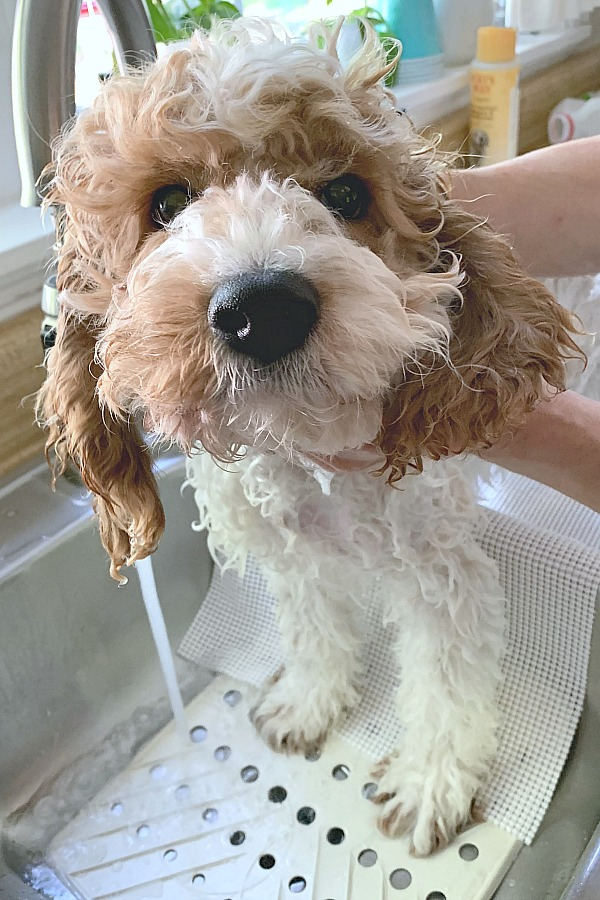 Cockapoo puppy bath in kitchen sink