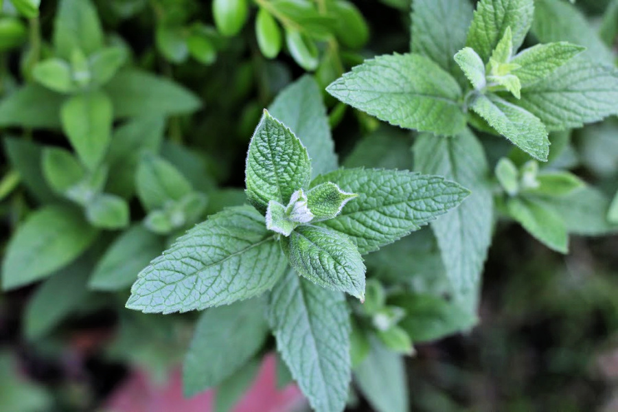 Growing mint in the garden or pots is perfect to add to a cold glass of iced tea.