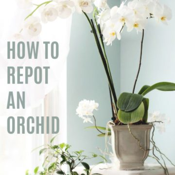 Easy step by step how-to and when-to repot an old Phalaenopsis orchid. Check roots and replace with fresh chip soil for a healthy vibrant plant.