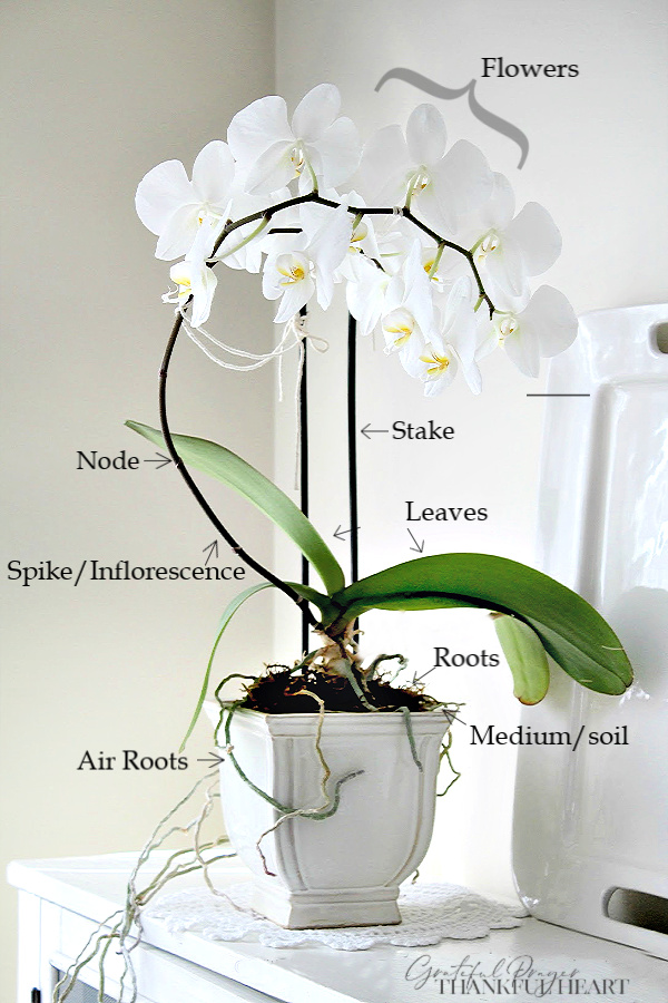 Parts and anatomy of a Phalaenopsis orchid and step-by-step guide to when and how to repot for healthy roots and growth.