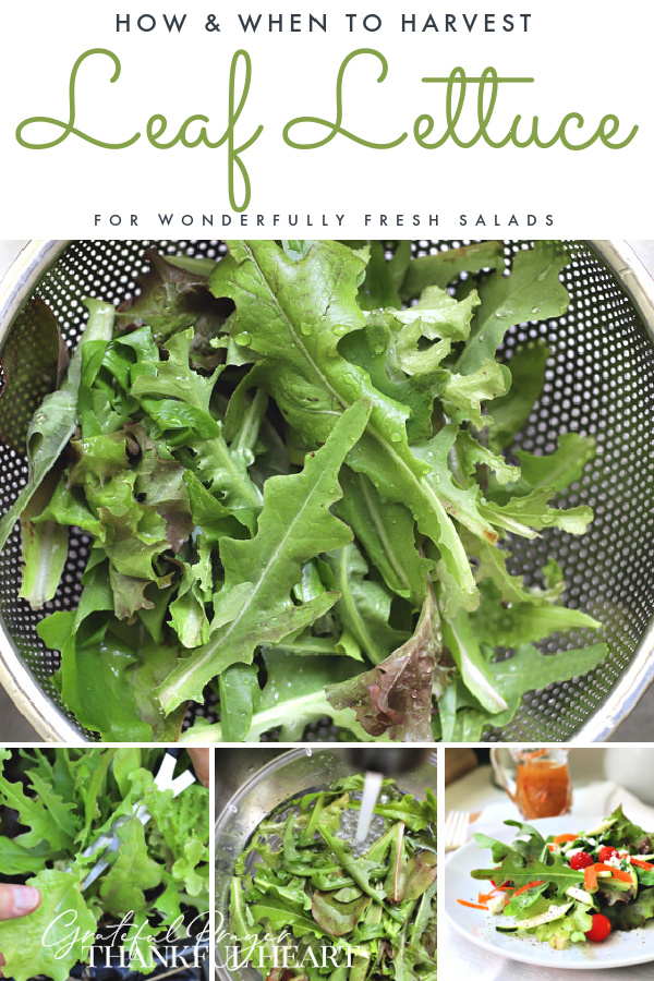 It is easy to grow leaf lettuce in a container or in the ground. How-to for when and how to plant, pick and harvest for fresh and healthy salads.