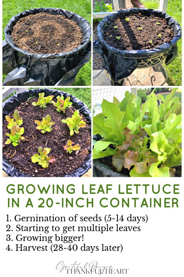 How to grow, harvest, clean and store leaf lettuce grown in containers.